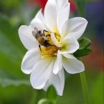 Biene beim Nektar sammeln © Volker Abels