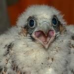 Junger Falke in Schwelm