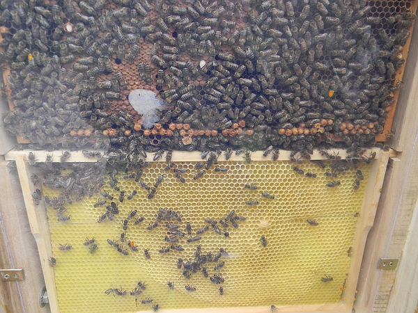 Bienen-Schaukasten am Tannenbaum