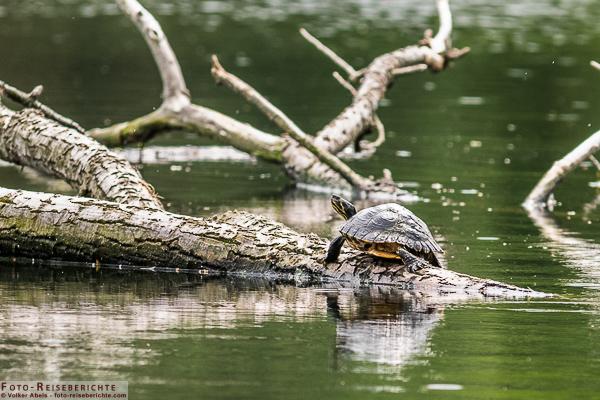 Gelbwangen Schildkröte