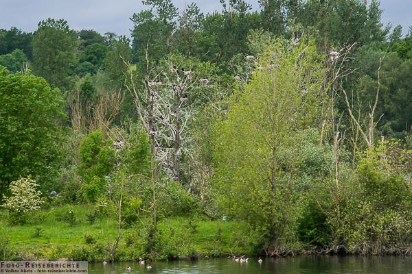 Kormorane im Nistbaum