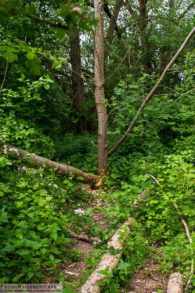 Hier haben Biber einen Baum gefällt