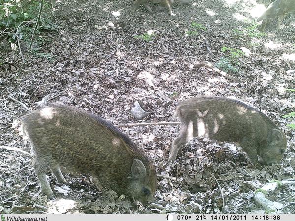"""Junge Wildschweine auf dem Grundstück """"Am Tannenbaum"""""""