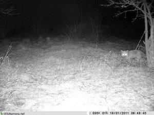 """Fuchs in der Dunkelheit Grundstück """"Am Tannenbaum"""""""