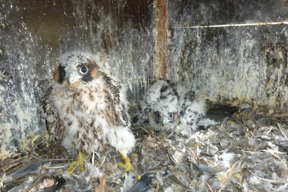 Junge Falken, 32 Tage alt