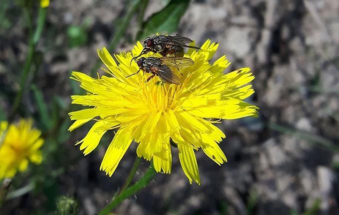 Auch Fliegen auf Loewenzahn gehören zu den Insekten