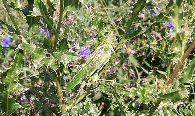 Auch diverse Schrecken fühlen sich in Blumenwiesen wohl. Sei gehören zu den wichtigen Insekten.