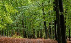 Buchen im Schwelmer Wald
